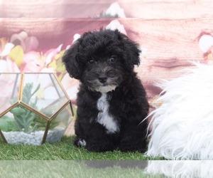 YorkiePoo Puppy for sale in MARIETTA, GA, USA