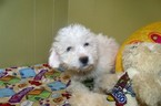 Cavachon Puppy For Sale in PATERSON, NJ, USA