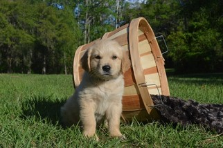 Goldendoodle Puppy For Sale in LIVE OAK, FL