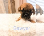 Cavalier King Charles Spaniel-French Bulldog Mix Puppy For Sale in LAWRENCEVILLE, GA, USA