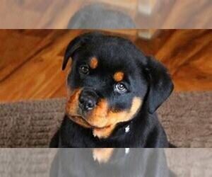 Rottweiler Puppy for sale in JACKSON, MI, USA