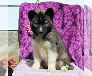 Siberian Husky Puppy for Sale in KIRKWOOD, Pennsylvania USA