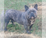 Small Photo #1 French Bulldog Puppy For Sale in TAMPA, FL, USA