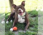Small #112 American Boston Bull Terrier