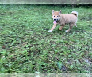 Shiba Inu Puppy for sale in MERRITT IS, FL, USA