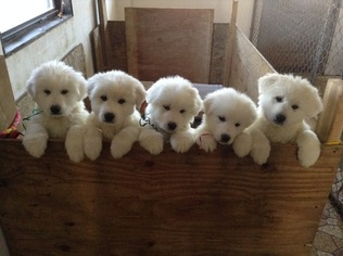 Great Pyrenees Puppy For Sale in NEWTONVILLE, NJ, USA