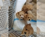 AKC Miniature Toy Poodles