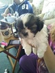 Shinese Puppy For Sale in WARWICK, Rhode Island,