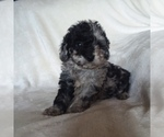 Puppy 3 Goldendoodle-Poodle (Miniature) Mix