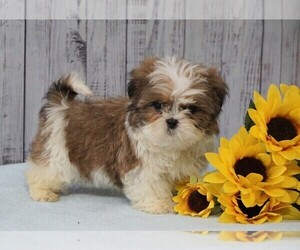 Shih Tzu Puppy for sale in FREDERICKSBG, OH, USA