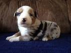 Australian Shepherd Puppy For Sale in BRIDGEWATER, VA, USA