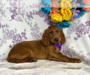 Irish Setter Dog for Adoption in LANCASTER, Pennsylvania USA