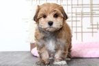 Rose Female Morkie Puppy