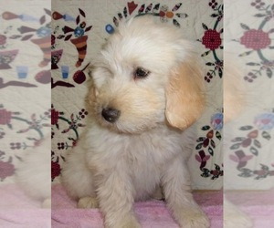 Golden Labrador-Poodle (Standard) Mix Puppy for sale in WEST GROVE, PA, USA
