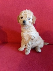 Goldendoodle-Poodle (Miniature) Mix Puppy for sale in ARTHUR, IL, USA
