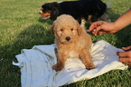 Goldendoodle-Poodle (Miniature) Mix Puppy For Sale in GLASGOW, KY, USA