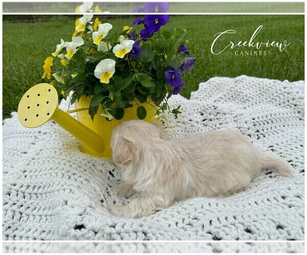 Medium Photo #3 Maltipoo Puppy For Sale in NIANGUA, MO, USA