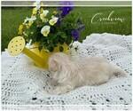 Small Photo #3 Maltipoo Puppy For Sale in NIANGUA, MO, USA