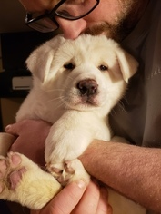 Akita Puppy For Sale in CEDAR MILLS, MN, USA
