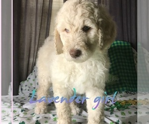Goldendoodle Puppy for sale in HOLT, MO, USA
