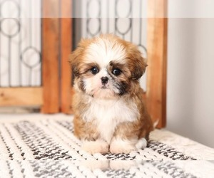 Shih Tzu Dog for Adoption in NAPLES, Florida USA