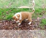 Puppy 5 Cattle Collie Dog