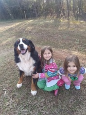 Father of the Bernese Mountain Dog puppies born on 03/17/2019