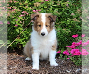 Shetland Sheepdog Puppy for sale in QUARRYVILLE, PA, USA