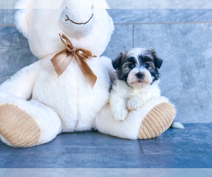 Havanese Puppy for sale in CLEVELAND, NC, USA