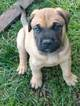 Bullmastiff Puppy For Sale in W SPRINGFIELD, MA, USA