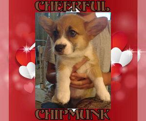Pembroke Welsh Corgi Puppy for sale in LOVELAND, CO, USA