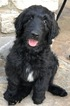 Labradoodle Puppy For Sale in FORNEY, Texas,