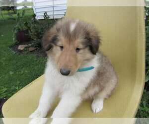 Collie Puppy for sale in EAST DETROIT, MI, USA