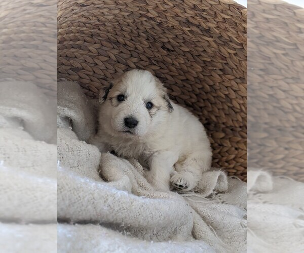 Medium Photo #71 Great Pyrenees Puppy For Sale in FALCON, CO, USA