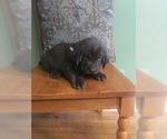 Puppy 10 Labrador Retriever