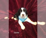 Puppy 2 English Springer Spaniel