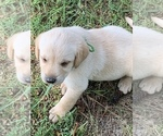Beautiful Yellow Lab puppies