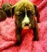 Olde English Bulldogge Puppy For Sale in YELM, WA