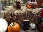 Bullmastiff-Rottweiler Mix Puppy For Sale in MORGANTOWN, PA, USA