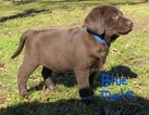 Labrador Retriever Puppy For Sale in CALERA, OK, USA