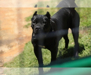 Mother of the Cane Corso puppies born on 07/11/2020