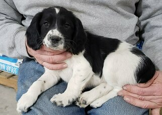 English Springer Spaniel Puppy For Sale in W BEND, WI, USA