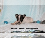Small #2 Australian Cattle Dog-Rat Terrier Mix