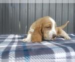 Small #11 Basset Hound