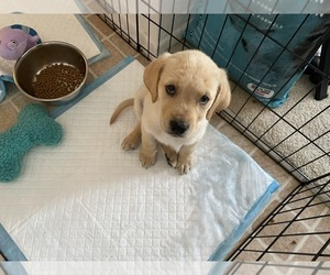 Golden Labrador Puppy for sale in IRVINE, CA, USA
