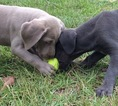 Weimaraner Puppy For Sale in DEFUNIAK SPRINGS, FL, USA