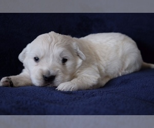 English Cream Golden Retriever Puppy for sale in FARMINGTON, NM, USA