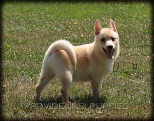 View Ad Schipperke Puppy For Sale Near Iowa Wayland Usa Adn 37519