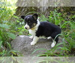 Small #10 Pembroke Welsh Corgi