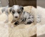 Puppy 1 Miniature Australian Shepherd